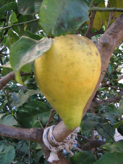 Lemon as Pear
